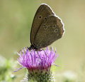 Butterfly on a thistle Royalty Free Stock Photo