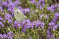 Butterfly on thyme Royalty Free Stock Photo