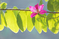 Butterfly Tree, Orchid Tree, Purple Bauhinia Beautiful pink flow