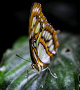 Butterfly on a tropical leaf Royalty Free Stock Photo