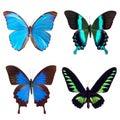 Butterfly tropical set: Morpho menelaus; Papilio blumei; Papilio ulysses; Trogonoptera brooklana Royalty Free Stock Photo