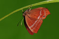 Butterfly on twig/ red/ Abisara echerius Royalty Free Stock Photography