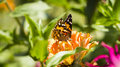 Butterfly vanessa cardui a beautiful shot in poland Royalty Free Stock Images