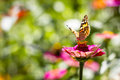 Butterfly vanessa cardui a beautiful shot in poland Royalty Free Stock Photography