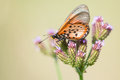 Butterfly on veld flower a orange spotted a purple with soft beige background Stock Image