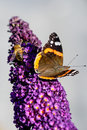 Butterfly and wasp on a butterfly bush sitting together in the sun Stock Images
