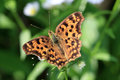 The butterfly which extends a wing orange open on leaf •scientific name is polygonia c aureum Stock Images