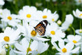 Butterfly on white cosmos flower in the nature