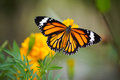 Butterfly wing beautiful on the flower Royalty Free Stock Photo