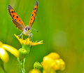 Butterfly on yellow flower Royalty Free Stock Photo