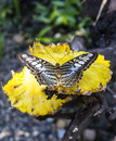 Butterfly on yellow pineapple closeup beautiful plant Royalty Free Stock Photography