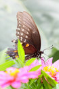 Butterfly on Zinnia flower Royalty Free Stock Image