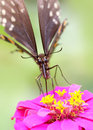 Butterfly on Zinnia flower Stock Image