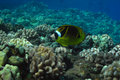 Butterflyfish Fotografia de Stock Royalty Free