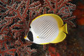 Butterflyfish Photo libre de droits