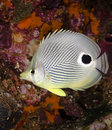 Butterflyfish foureye 库存图片