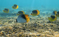 Butterflyfishes Royaltyfria Bilder