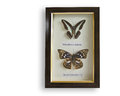 Butterflys in frame with glass end names on paper Royalty Free Stock Photography