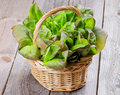 Butterhead lettuce fresh crunchy green and red in wicker basket isolated on rustic wooden background Stock Photography