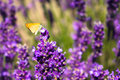 Butterly on lavander flower bee is gathering some honey Royalty Free Stock Photography