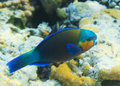 Buttlehead parrotfish Stock Images