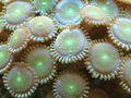 Button Polyps Macro Royalty Free Stock Image