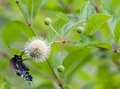 Buttonbush pipevine swallowtail battus philenor on common cephalanthus occidentalis Royalty Free Stock Photo