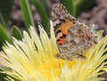 Buttrefly painted lady vanessa cardui sucking pollen on an ice plant carpobrotus edulis Stock Images