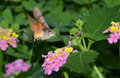 Buttterfly on flower closeup of butterfly verbena flowers Stock Photo