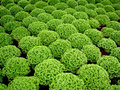Buxus Royalty Free Stock Photography
