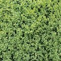 Buxus Royalty Free Stock Photo