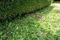 Buxus hedge Royalty Free Stock Photo