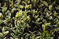 Buxus seedlings small of green white bush Stock Photos