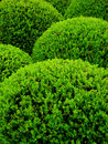 Buxus sempervirens Royalty-vrije Stock Foto