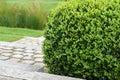 Buxus Sempervirens, boxwood plant Royalty Free Stock Photo
