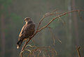 Buzzard bird of prey perched on a branch Royalty Free Stock Photography