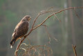 Buzzard bird of prey perched on a branch Royalty Free Stock Image