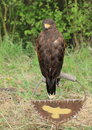 Buzzard bird standing on perch Royalty Free Stock Image