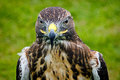 Buzzard close up of a with a green grassy background Royalty Free Stock Photography