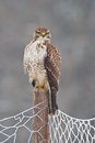 Buzzard on a fence post Royalty Free Stock Image