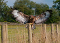 Buzzard landing Royalty Free Stock Images