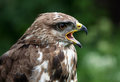 Buzzard portrait Royalty Free Stock Photography
