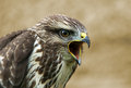 Buzzard portrait Royalty Free Stock Photo
