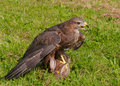 Buzzard with prey Royalty Free Stock Photo