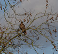 Buzzard sitting in a tree Royalty Free Stock Photo