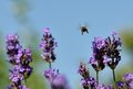 Bye a bee flies through the lavender flowers Royalty Free Stock Photos