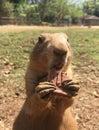 Cão Da Pradaria (prairie Dog)