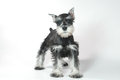 Cão de cachorrinho bonito do schnauzer diminuto do bebê no branco Fotos de Stock Royalty Free