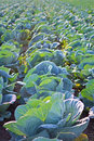 Cabage Field Rows. Farming Organic Cabbage. Cabbage on the Field Ready to Harvest. Royalty Free Stock Photo