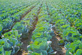 Cabage Field Rows. Farming Organic Cabbage. Cabbage on the Field Ready to Harvest.